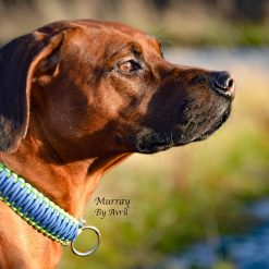 Murray, Apollo Dog Collars, Handmade Dog Collars, Handmade Dog Leads