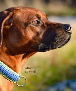 Murray, Apollo Dog Collars, Handmade Dog Collars, Handmade Dog Leads